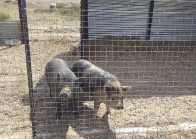 Animal Farm3