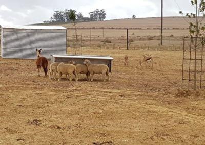 Animal Farm4